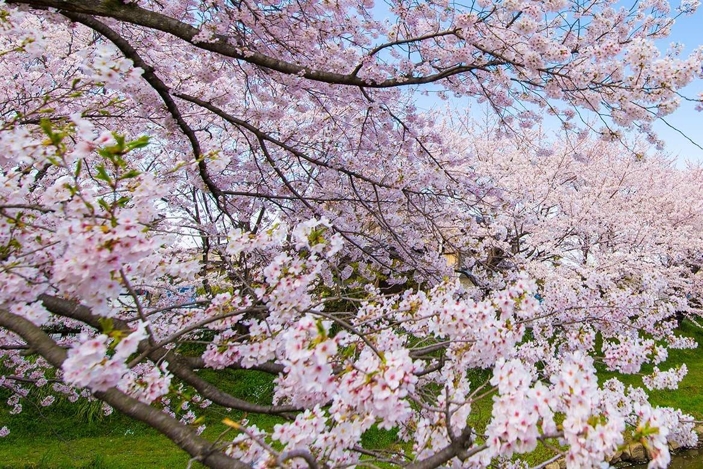 用宗の桜やっと満開、見頃を迎える
