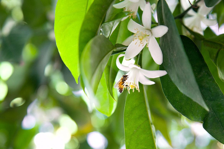 みかんの花の香りに包まれる
